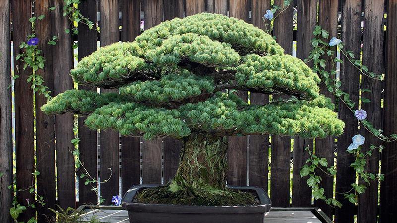 Niezwykłe bonsai