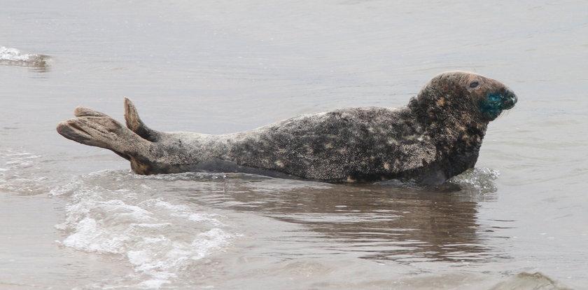 Walcząo życie rannej foki
