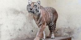 Koniec gehenny tygrysów skazanych na śmierć! Weterynarze wciąż pracują w pocie czoła