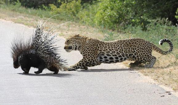 Leopard je skočio sa drveta u nadi da će nešto prezalogajiti