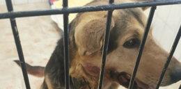 Sołtyska ciągnęła psa na haku za samochodem