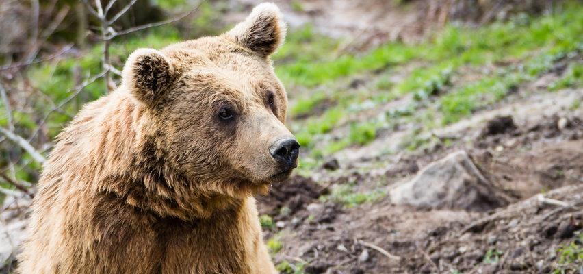 Groza w Bieszczadach. Niedźwiedź podchodzi pod domy, wójt daje instrukcje jak się zachować