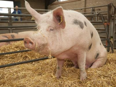 """Ludzka trzustka hodowana w świni - BBC pokazuje """"Nowy wspaniały świat"""" w realu"""