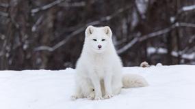 Lis polarny w Polsce? Taki mamy klimat