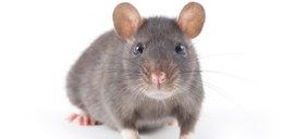 Myszy tej samej płci doczekały się potomka. Mężczyźni powinni się obawiać!