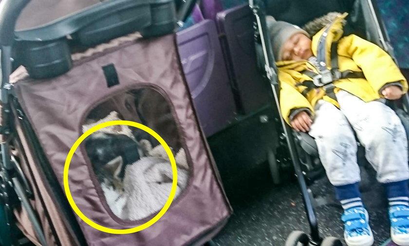 Wózek z kotem ważniejszy od wózka dziecięcego Kierowca niewzruszony