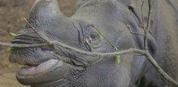 Odwiedź nosorożce we wrocławskim zoo