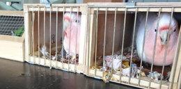 Papużki zatrzymane na granicy