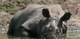 Nosorożec z opolskiego zoo zmarł na serce