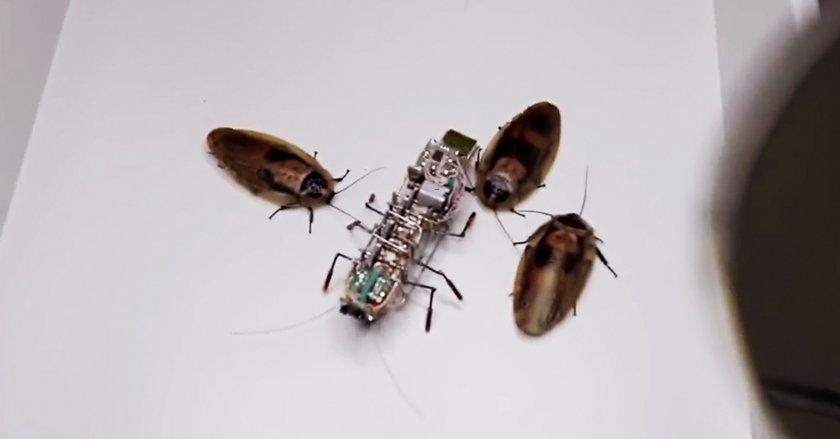 Robot i prawdziwe karaluchy