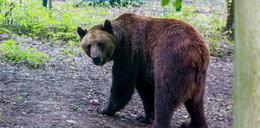 Będą nowe niedźwiedzie w ZOO