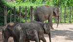 """""""ŽIVE U NEHUMANIM USLOVIMA"""" Većina zatočenih slonova u Aziji je danonoćno vezana i mučena"""