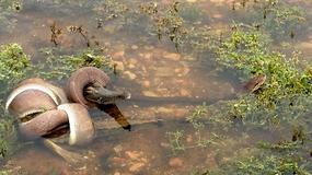 W Australii wielki wąż udusił i zjadł w całości krokodyla