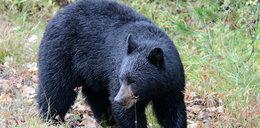 Niedźwiedź włamał się do domu i... uciął sobie drzemkę