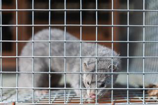 Komisja senatu za poprawkami do ustawy o ochronie zwierząt. We wtorek dyskusja na posiedzeniu plenarnym