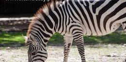 Urodziny zebry w warszawskim zoo!