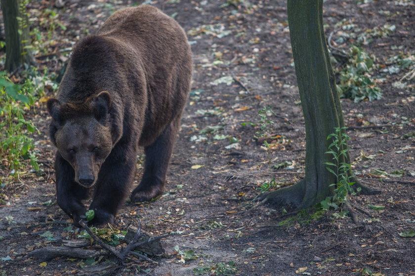 Zbiórka orzechów dla niedźwiedzi z Poznania