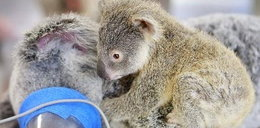 Tak mały koala tulił operowaną mamę