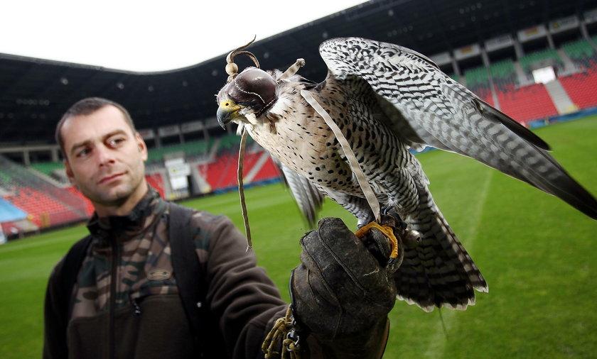 Sokolnik z ptakiem pracuje na stadionie
