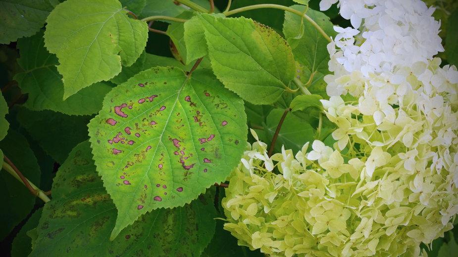 Hortensje często atakowane są przez choroby bakteryjne - Tunatura/stock.adobe.com