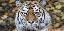 Dramat w Czechach. Kobieta chciała pogłaskać tygrysa