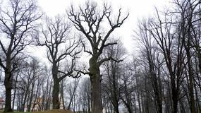 Dąb Józef z Wiśniowej wybrany Europejskim Drzewem Roku