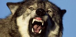 Tyle wilki zostawiły z trzech krów! FOTO