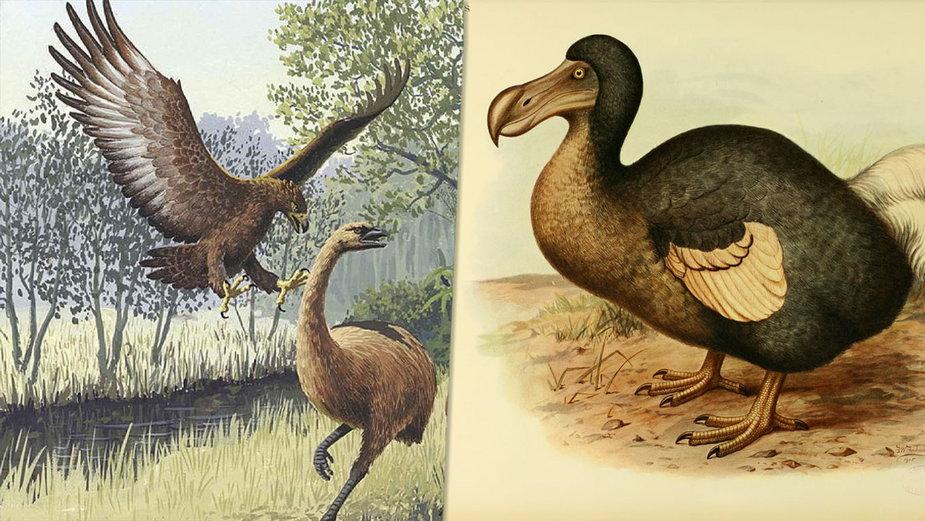 Moa i orzeł Haasta, ptak Dodo