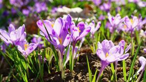 Kiedy naprawdę zaczyna się wiosna? [INFOGRAFIKA]