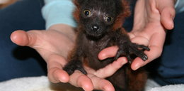 Zostałam mamą małego lemurka