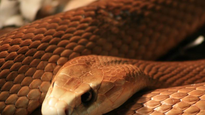 Tajpan - najbardziej jadowity wąż świata