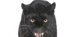 Jaguary rozszarpały kobietę w zoo!