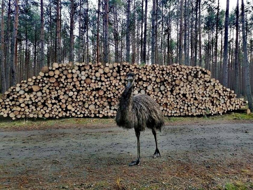 To niebywały widok w polskim lesie. Leśniczy natknął się na...
