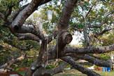 banjan drvo infuzija