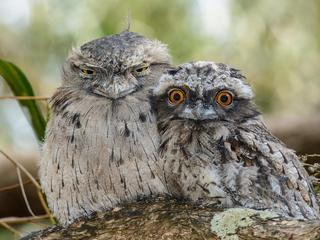 Tawny Frogmouth Chick and Parent.