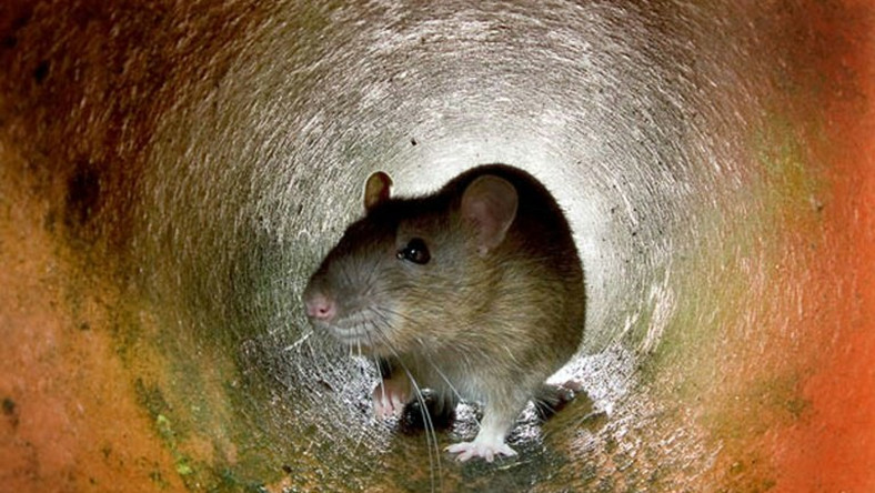 Police report say baby's missing ear was eaten by rats at Anambra hospital. (Metro UK)