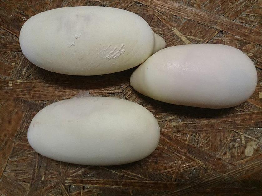 Jaja pytonów królewskich