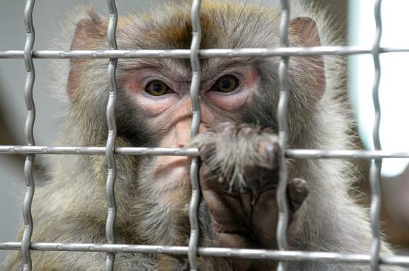 Geni su implantirani u mozgove 11 rezus majmuna (foto: ilustracija)