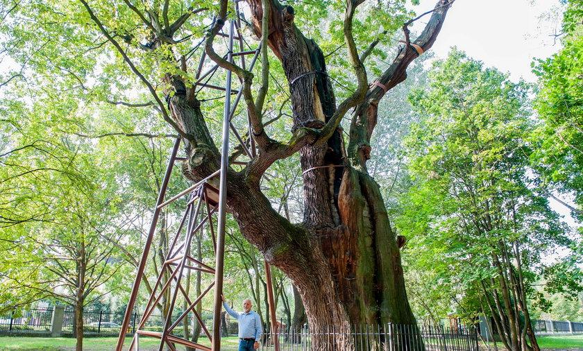 Najstarsze drzewo w Warszawie