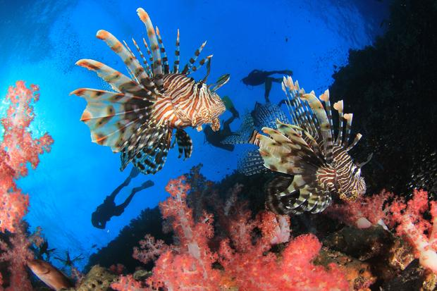 Ryba skrzydlica (Pterois, ognica)