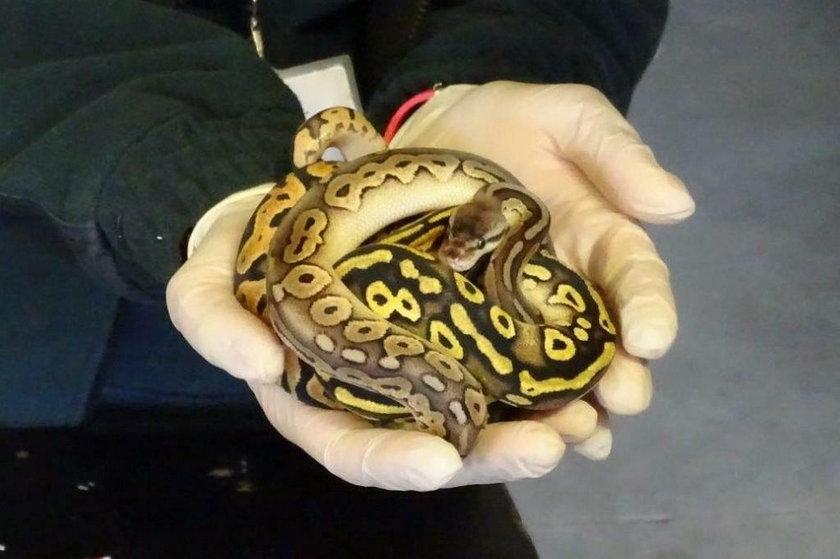 Przemycane są także egzotyczne węże, będące pod ochroną