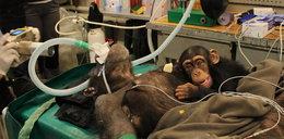 Małpka przyszła z mamą na operację