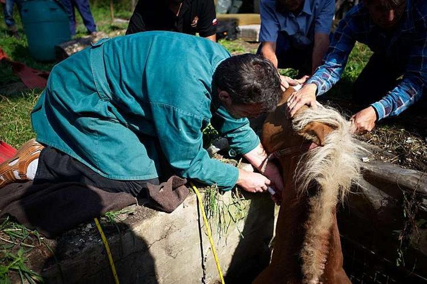 Koń wpadł do szamba! Zdjęcia z akcji ratowniczej