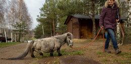 To najmniejszy koń świata! Pochodzi z Łodzi