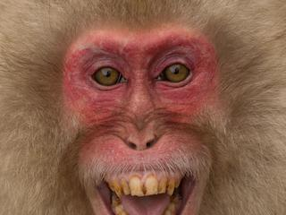 Japanese macaque grimacing.