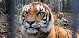 Smutne wieści z poznańskiego zoo. Gideon przegrał walkę o życie