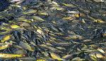 Prijedor: Otkriveni kradljivci 800 kilograma ribe