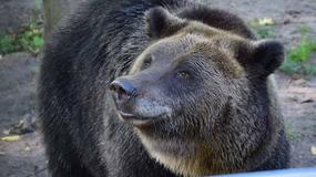 Poznań: niedźwiedzica w zoo znalazła pocisk moździerzowy