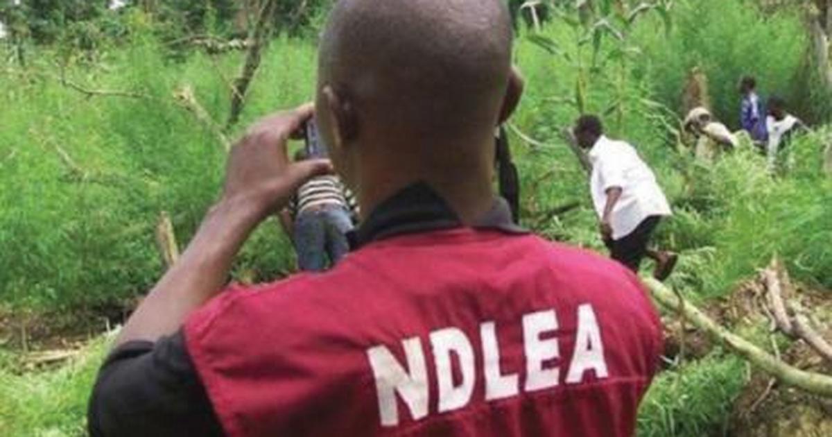 NDLEA destroys 40 hectares of hemp plantation in Oyo state - Pulse Nigeria