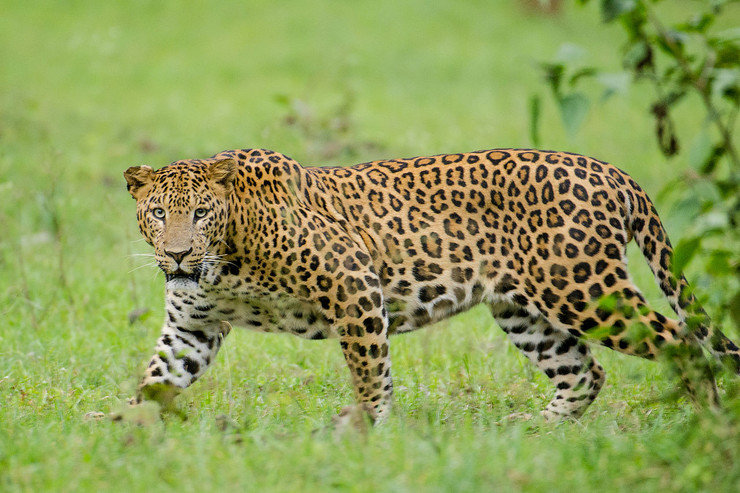 Nagarhole_Kabini_Karnataka_India,_Leopard_September_2013